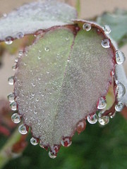 ~dew~on~rose leaf       (Laila Neihoum) Tags: california plants me leaves rose canon reflections beads leaf drops balls dew bulbs deyoung clovis mygarden shaw waterdroplets morningfog libyanphotographer tinyblobs