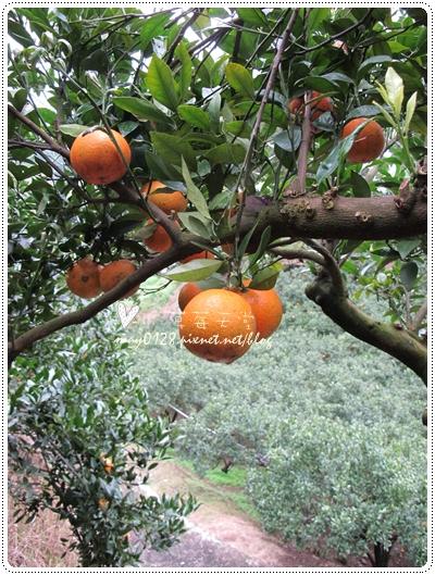 關西採草莓橘子牛欄河2010.02.20-21