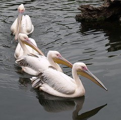 Pelicans / Pelicanos / Pelecanus (jovidoes) Tags: naturaleza white lake bird art blanco nature birds lago libertad photo interesting flickr gallery foto photographer arte photos top peces free aves explore pjaros ave pescado comun flu libre photostream belleza pjaro bico visin percepcion finearts equilibrio armona pescar pelecanus pici pelicanos agitacin sellection expolore bandadas natureselegantshots jovidoes onocratalus flickrsportal joaqunvicente joaquinvicente joaquinvicenteesp joaqunvicenteesp joaquinvicenteespilluch joaquinespi joaquinespilluch