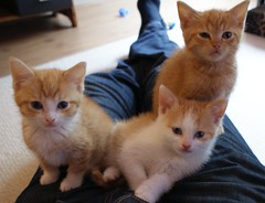 Tres diablos (Hilco666) Tags: pet cats cat kitten chat kittens poes kirk huidsier hilco666