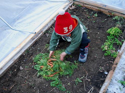 Harvesting February Carrots
