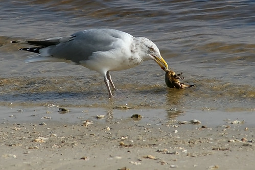 Herring Gull with Crab for Dinner