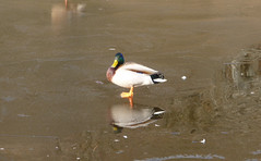 Duck (Ian D) Tags: walking scotland lochlomond conichill