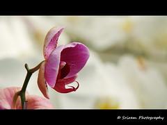 Loudspeaker :P (Sriram Ramani) Tags: pink white orchid alone single psed sriram happybday ramani sriramramani alonep