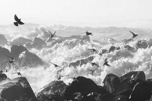 Seabirds in Flight