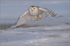 Owl (Snowy) - 1860 (Earl Reinink) Tags: flight raptor snowyowl snowyowlinflight earlreinink wwwearlreininkcom wwwipaintca