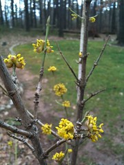 spring is on its way (ayse_e) Tags: cameraphone tree yellow mobile backyard flowering buds dogwood 3gs iphone corneliancherry cornusmas europeancornel loyalplace
