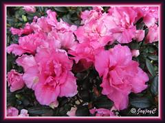 Rhododendron simsii or Azalea indica (deep-pink variety), at a garden nursery