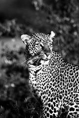 Wildlife - Maasai Mara (miacat63) Tags: cats birds kenya wildlife safari leopard lions chase cheetah impala bigcats koribustard maasaimara hyaena bushcamp flickrbigcats miacat63 2010masaimara