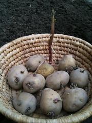 Vroege aardappels (Frieslander) poten