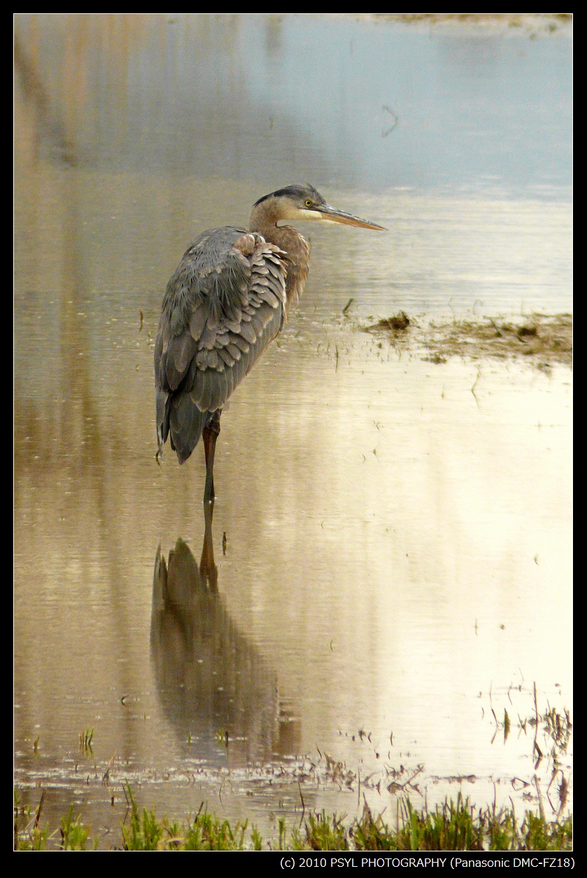 Heron and its fading reflection