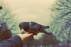 Feeding Time.. (- M7D . S h R a T y) Tags: park uk bird london birds feeding unitedkingdom hydepark wordsbyme london2010 allrightsreserved