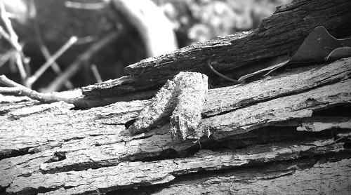 coyote scat on white oak 3