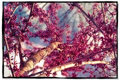 Up Into Fuschia (Proleshi) Tags: pink sky color nature up 50mm nikon vibrant vivid lookingup fuschia 50 cerise prettycolors treelimb d60 deepcolor nothdr singleraw 50mm14afs proleshi