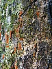 coconut lichen coconuttree lichens