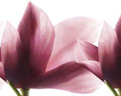 Productos SANOFLORE: ptalos de magnolia (Tendencias Moda y Belleza) Tags: producto cosmetica sanoflore