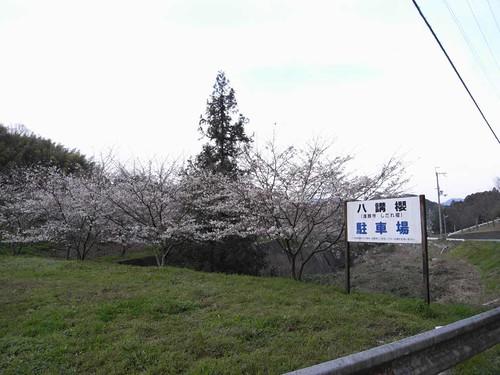 八講桜@桜井市-01