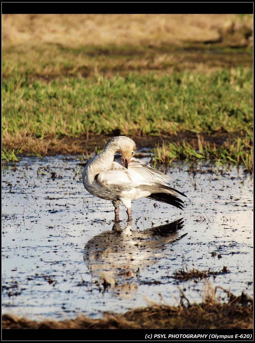 Lonely Snow Goose