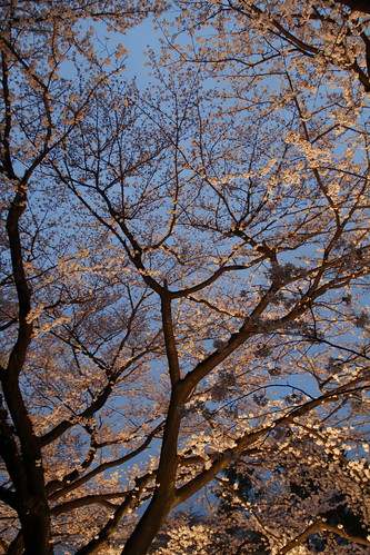 Cherry blossoms of Toho Studios