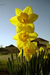 Daffodil Trio #2