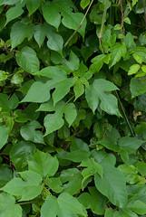 Papier Maulbeerbaum