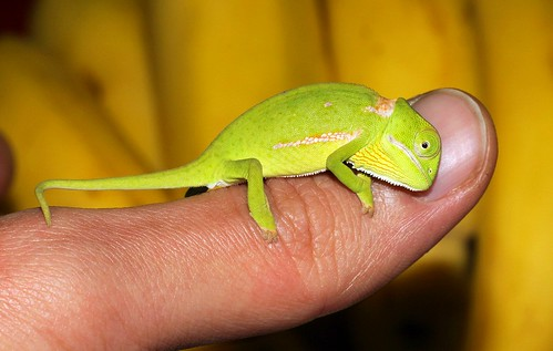 Chameleon (juvenile Chamaeleo dilepis) on my thumb