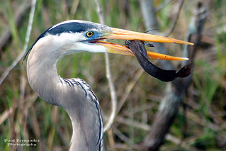 Great Blue Heron Close-Up at Shark Valley, Everglades National Park