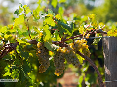grapes (harlanov) Tags: travel autumn food industry fruit vineyard healthy october colorful wine eating cluster country harvest scenic fresh winery valley crop snack ingredients grapes bunch napa organic agriculture grapevine ripe nutritious ripened