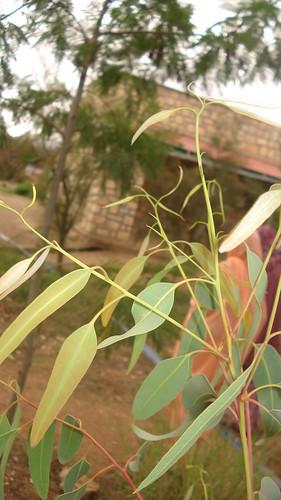 Small eucalyptus tree