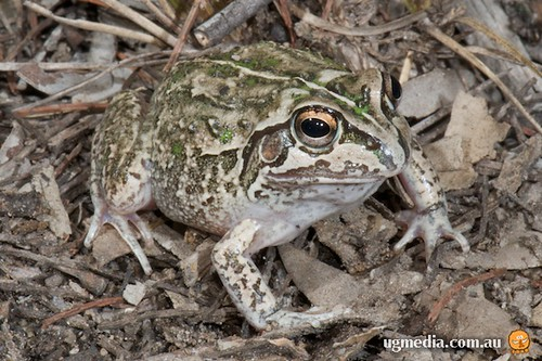 Rough collared frog (Cyclorana verrucosa)