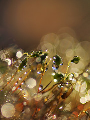 Moss shoots, drops and light (zioquattroterzi) Tags: light abstract macro primavera spring bokeh explore buds musk astratto muschio luce germogli underwood sottobosco fairymacro