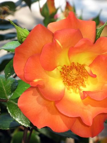 Spring Rose.