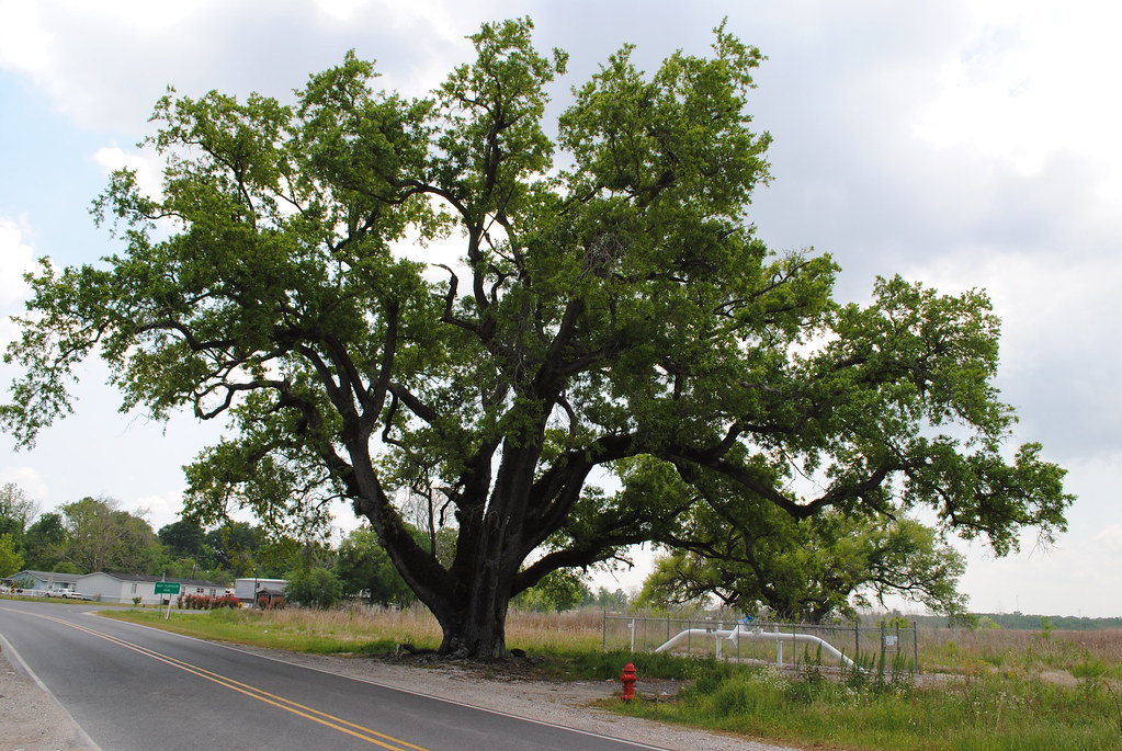 oak tree, plumbing