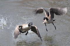 Territorial Goose DSC_4837 (Ron Kube Photography) Tags: canada calgary bird nature birds fauna geese nikon goose alberta ornithology canadagoose brantacanadensis calgaryalberta inglewoodbirdsanctuary southernalberta d300s globalbirdtrekkers ronaldok nikond300s ronkubephotography