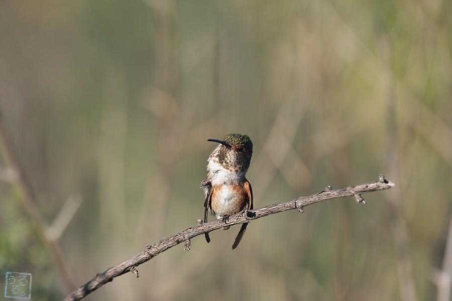 Allen's Hummingbird 02101-116