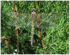 1704_dragonfly