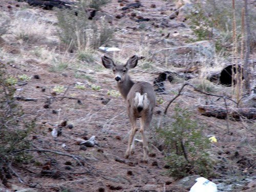 Mule deer at Camp