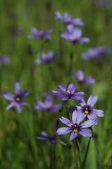 Sisyrinchium bellum (Eric Hunt.) Tags: california blue yellow purple marincounty striped sisyrinchium sisyrinchiumbellum iridaceae blueeyedgrass nicasioreservoir geophyte
