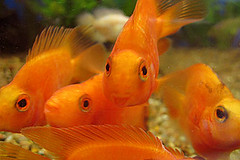 Orange with five eyes (whalemap) Tags: fish aquarium blood parrot freshwater cichlid