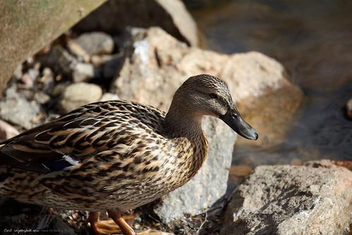 5d duck v2