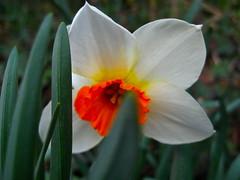 Narcissus Brilliance amongst it's Own Greenery (MidiMacMan) Tags: bulbs daffodils narcissus floweringplants midimacman angiosperms johnathanjstegeman