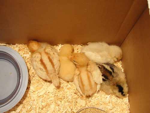sleeping chicks