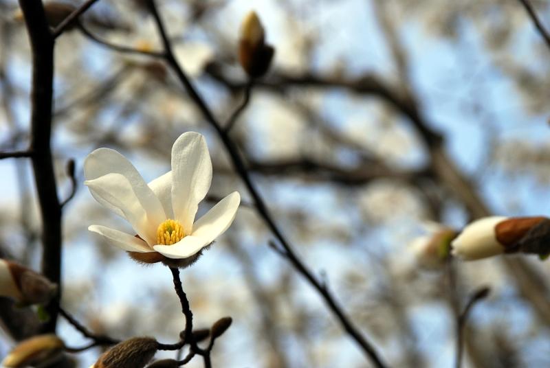 new-magnolia