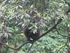 Bashful Monkey??