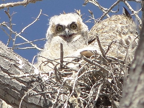 """baby great-horned owl on nest • <a style=""""font-size:0.8em;"""" href=""""http://www.flickr.com/photos/10528393@N00/4549573454/"""" target=""""_blank"""">View on Flickr</a>"""