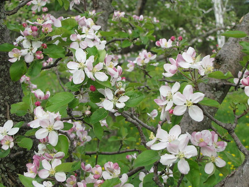 apple blossoms & honey bee