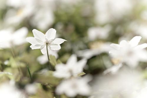 Wood Anemones - Anemone nemorosa