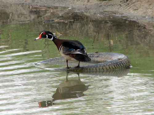 Wood Duck on a tire