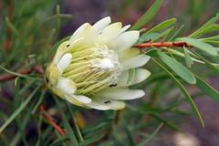 Protea lanceolata (Proteaceae)