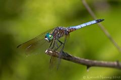 BLUE DASHER 6 (k.nanney) Tags: arlington insect texas dragonflies tx nikkor d2h odonata libellulidae texaswildlife skimmers tarrantcounty bluedasher nanney kennanney kennethnanney nikkor400mm villagecreekdryingbeds phachydiplaxlongipennis